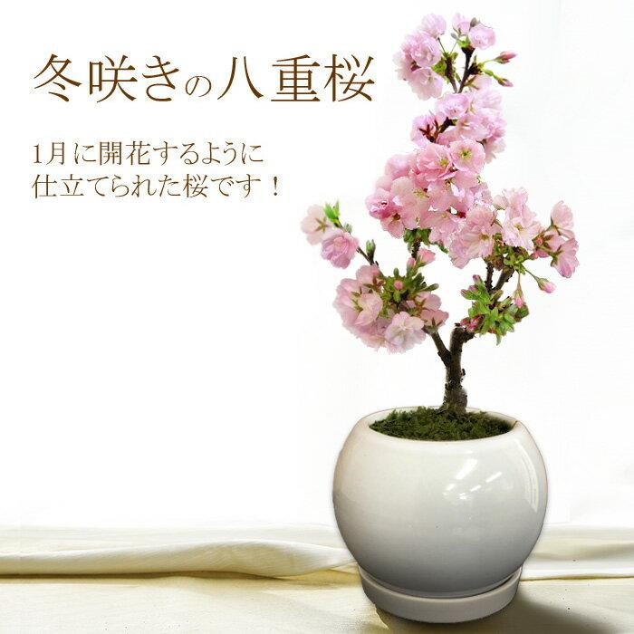 【白い鉢(陶器)でのお届け】冬咲きの八重 桜 盆栽 プレゼント(一才桜 旭山) 1月に開花するように仕立てられたサクラ(さくら)です!開花直前の苗木をお届けします!もちろん陶器鉢仕立て!【メッセージカード・ラッピング可能】