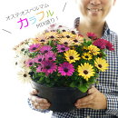 【送料無料】毎年咲いちゃう!モリモリ育つ!オステオスペルマムカラフルMIX盛り!9号大鉢(直径27センチ)【メッセージカード、ラッピングは不可】