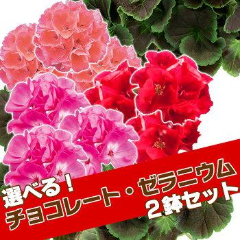 【送料無料】【2鉢セット】よく咲くゼラニウム・チョコレート3種から選べる!ゼラニウムゼラニューム鉢【ラッピング・メッセージカード不可】