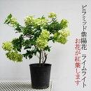 ピラミッド紫陽花(ノリウツギ)ライムライト7号紅葉する紫陽花です庭植えにも使えます