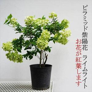 【現在花ナシです】ピラミッド紫陽花(ノリウツギ) ライムライト 7号 紅葉する紫陽花です 庭植えにも使えます