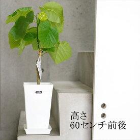 観葉植物 フィカス ウンベラータ 6号 高さ約60cm インテリアグリーン ゴムの木 初心者さんにおすすめです!【ラッピング・メッセージカード不可】