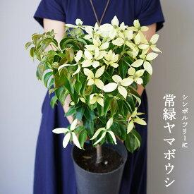 【花終わり株】常緑ヤマボウシ(山法師) 7号 品種:月光 ハナミズキの親戚のお花です。庭植えでシンボルツリーに 鉢植えにもオススメ