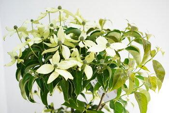 常緑ヤマボウシ(山法師)7号ハナミズキの親戚のお花です。庭植えでシンボルツリーに鉢植えにもオススメ