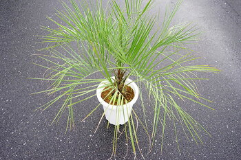 【送料無料】耐寒性ココスヤシ寒さにも強く庭植えが可能!男の植物!デカい!耐暑性も抜群!【メッセージカード・ラッピング不可】