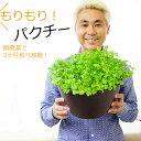 【送料無料】無農薬 もりもりパクチー収穫祭! 9号(直径27センチ)鉢 3ヶ月楽しめる!育てながらつまみ食い! コリアンダー 香菜 シャンツァイ