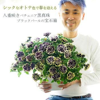 【送料無料】シックなオトナ色で春を迎える!!八重咲きペチュニア黒真珠ブラックパールの宝石箱!!どっっっかーーんと大きな7寸大鉢!
