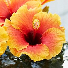 【送料無料】よく咲く長く咲くハイビスカス 鉢植え 5号鉢 アポロ 1鉢 同梱4鉢まで対応中! ヒビスカス【take】【メッセージカード不可・ラッピング不可】