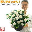 【送料無料】香りがどっかん!くちなしレボリューション 9号(直径27センチ)鉢 大鉢に咲き誇る香りの鉢植え! クチナシ【ラッピング・…