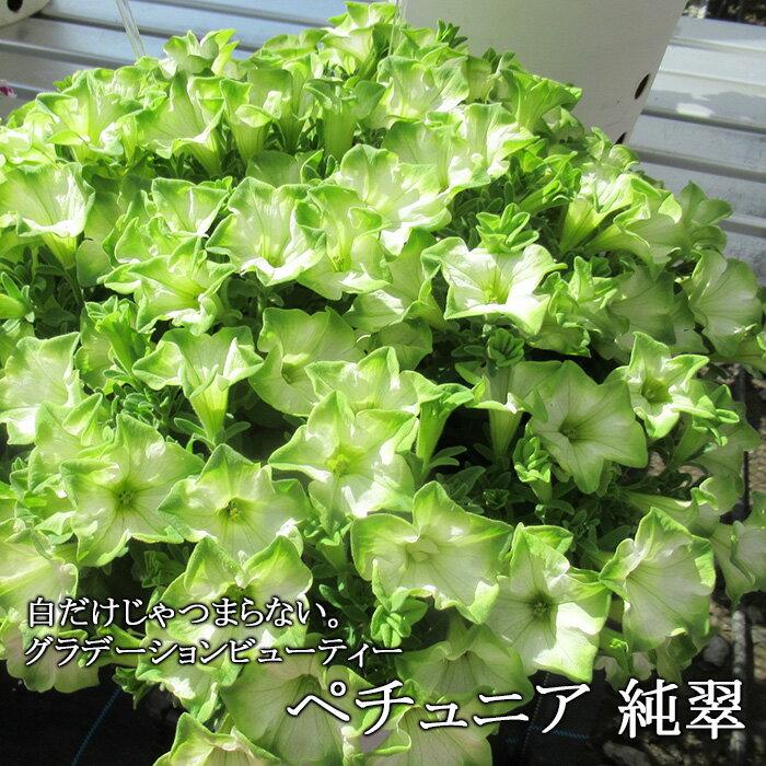 【送料無料】【6苗セット】新品種!ペチュニア 純翠 3.5寸 6苗セット グラデーションビューティー 今までにない美しい花色!花つきも◎!丈夫で比較的大きく育ちますよ!【出荷時は、花なし出荷です】