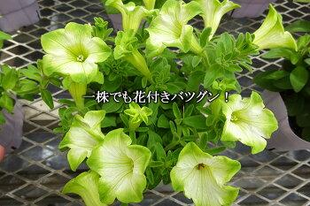 【送料無料】【6苗セット】新品種!ペチュニア純翠3.5寸6苗セットグラデーションビューティー今までにない美しい花色!花つきも◎!丈夫で比較的大きく育ちますよ!【出荷時は、花なし出荷です】