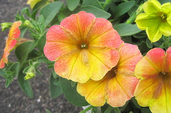 【送料無料】【6苗セット】色変わりがめちゃ綺麗!ペチュニアトロピカルティ3.5寸6苗セットカラフルなグラデーションが美しい!病気に強い!花つき◎!比較的大きく育ちます!【出荷時は花なし苗での出荷】