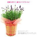 母の日ギフト 花 送料無料 イングリッシュラベンダー アロマティコ・ブルー 鉢植え プレゼント 素敵な香りでお母さん…