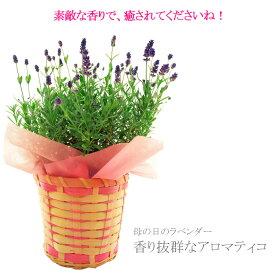 送料無料 2021 母の日ギフト ラベンダー アロマティコ・ブルー プレゼント お花 鉢植え 癒し 珍しい