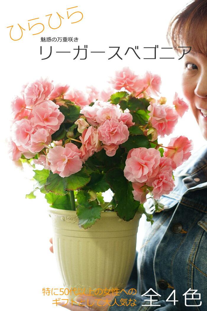 【送料無料】ひらひらリーガースベゴニア バラ咲き! 大株仕立て 花鉢 ギフト 贈答用 魅惑の万重咲き