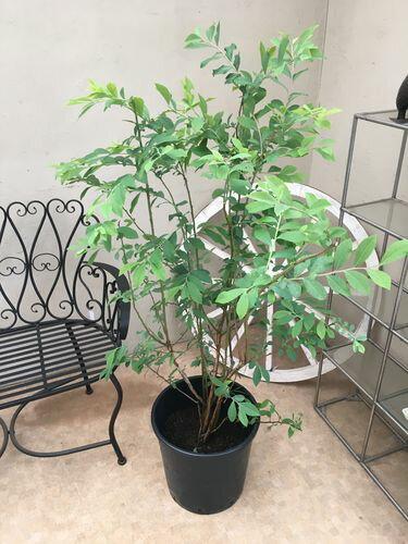 ブルーベリー 12号鉢 H150-170cm 苗木 大実 キャラウェイ 送料無料 果樹 庭木