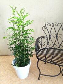 シルクジャスミン 8号 H100−120cm 送料無料 ジャスミン インテリア 新築祝い 引っ越し祝い 観葉植物 鉢植え 贈り物 鉢植え ゲッキツ 月橘 オレンジジャスミン イヌツゲ