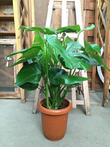 モンステラ 8号 H80-100cm 送料無料 大型 観葉植物 ギフト お祝い インテリア 新築祝い 開店祝い 開業祝い 引っ越し祝い 退職祝い