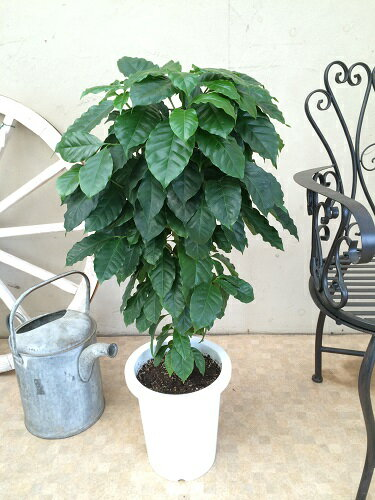 コーヒーの木がやってきた! 8号鉢 送料無料 観葉植物 ギフト 新築祝い 開店祝い 開業祝い 引っ越し祝い