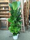 カシワバゴム10号鉢 ゴムの木 送料無料 観葉植物 大型 インテリア お祝い