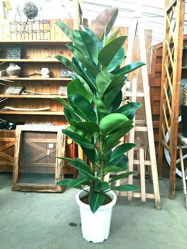 ゴムの木 ロブスター10号鉢 送料無料 大型 観葉植物 インテリア ギフト 新築祝い 開店祝い 開業祝い