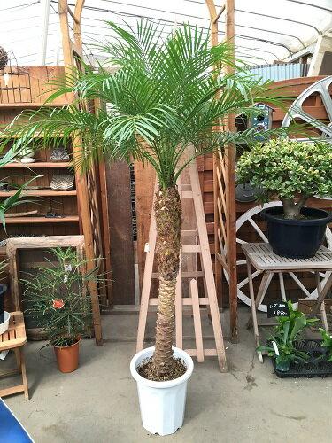 フェニックスロベレニー 10号 LA H160-170cm 送料無料 大型 観葉植物