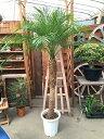 レギュラーサイズ フェニックスロベレニー10号鉢 L(A) 160〜170cm 送料無料 大型 観葉植物 ヤシ