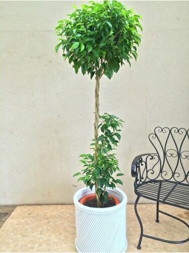 大型 観葉植物 ベンジャミン10号鉢 H150-170cm トピアリー仕立て インテリア 新築祝い ギフト 開店祝い 開業祝い 引っ越し祝い