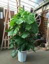 モンステラ 10号鉢 H150-170cm 観葉植物 送料無料 ヘゴ仕立て 大型 新築祝い 開店祝い 開業祝い 移転祝い 引っ越し祝…