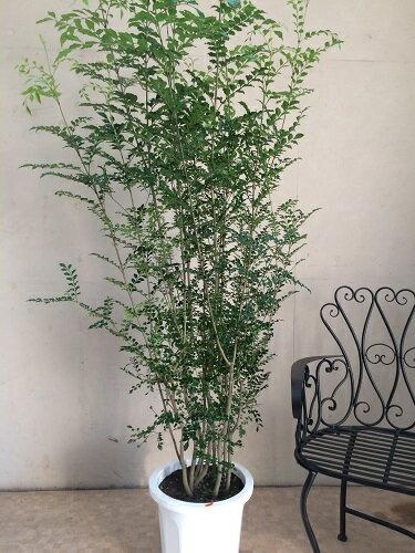 大型 観葉植物 シマトネリコ10号鉢 H170-180cm 観葉植物 株立ち 鉢植え 送料無料 インテリア 新築祝い 開店祝い 開業祝い 引越し祝い 移転祝い