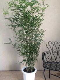 シマトネリコ10号鉢 H170-180cm
