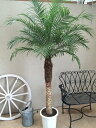 フェニックスロベレニー10号鉢 特L 180〜200cm 送料無料 観葉植物 ヤシ 大型 インテリア