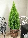 大型 観葉植物 送料無料 ゴールドクレスト 10号鉢 H150-170cm コニファー 庭木 植木 クリスマス クリスマスツリー カゴ付