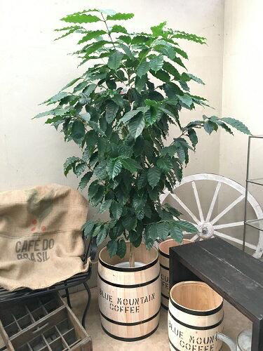 大型 観葉植物 樽付 コーヒーの木10号鉢 H130-150cm 送料無料 新築祝い 開店祝い 開業祝い 引っ越し祝い