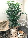 ハンドメイド樽付 コーヒーの木10号鉢 送料無料 観葉植物 大型 送料無料