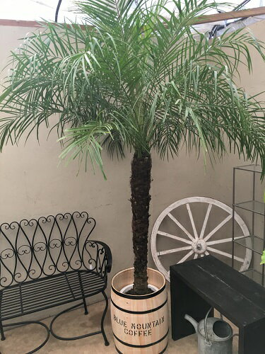 大型 観葉植物 フェニックスロベレニー10号鉢 超L H200-220cm 送料無料 開店祝い ヤシ 新築祝い インテリア ギフト