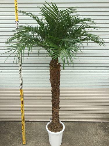 最強極太 フェニックスロベレニー10号鉢 H200-220cm 送料無料 観葉植物 ヤシ 大型 インテリア