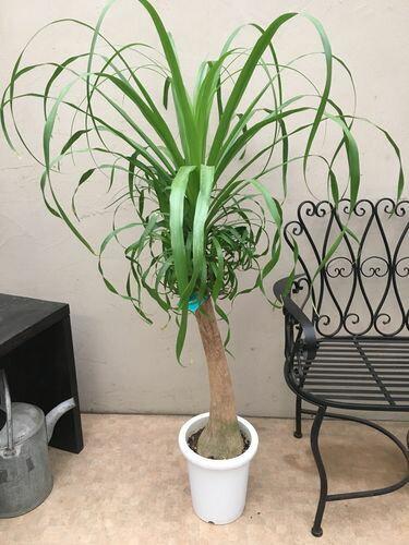 ポニーテール8号鉢 現品 135cm 大型 観葉植物 インテリア 送料無料 ノリナ ボーカルニア ポニーテール ギフト 新築祝い 開店祝い