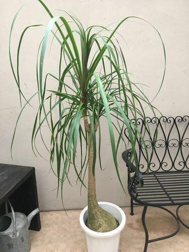 ポニーテール 10号鉢 H160cm程 大型 観葉植物 インテリア 送料無料 ノリナ ボーカルニア ポニーテール ギフト 新築祝い 開店祝い