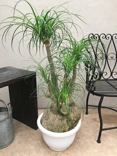 トックリラン 12号鉢 H105cm 現品B-1 送料無料 観葉植物 大鉢 インテリア 新築祝い 移転祝い ギフト 大型 ポニーテール ノリナ