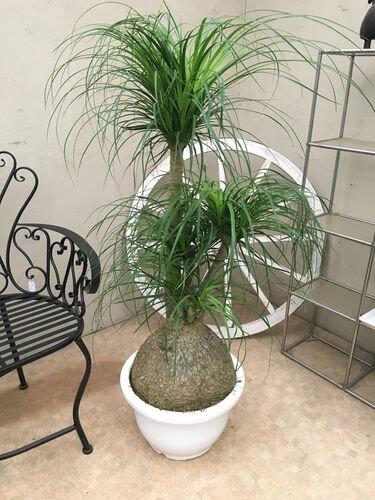 トックリラン 12号鉢 H125cm 現品B-3 ポニーテール ノリナ 送料無料 観葉植物 大鉢 インテリア 新築祝い 移転祝い ギフト 大型