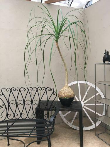 トックリラン 9号 H140cm 現品A-2 送料無料 観葉植物 大鉢 インテリア 新築祝い 移転祝い 引越し祝い 退職祝い 還暦祝い 開業祝い 開店祝い ギフト 大型 ポニーテール ノリナ