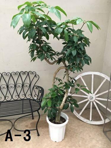 選べる ブラッサイヤ10号 現品 送料無料 観葉植物 大型 ツピタンサス チュピダンサス ツピダンサス インテリア 開店祝い 開業祝い 引越し祝い 新築祝い 移転祝い