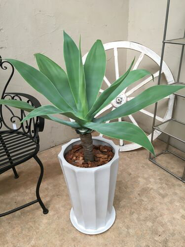 アガベアテナータ H100cm程 陶器鉢 受皿付 現品 送料無料 大型 観葉植物 インテリア 新築祝い 開店祝い 開業祝い 引っ越し祝い ギフト お祝い