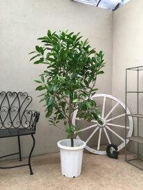 ファグラエアベルテロアナ 10号鉢 H140-160cm