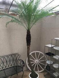 フェニックスロベレニー10号鉢 H260cm 美形 現品