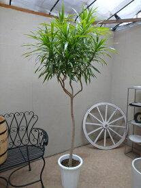 ドラセナナビー10号鉢 H210cm 【現品】