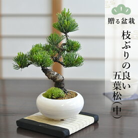 枝ぶりの良い五葉松(中) 贈る盆栽 bonsai_005 ギフト 贈答 贈り物 プレゼント お返し 内祝い 出産内祝い お返し 結婚内祝い 結婚祝い 引越し祝い ご挨拶 お中元 お歳暮 お年賀