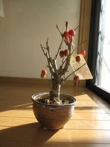 敬老の日にも喜ばれます! 姫リンゴ盆栽 青いりんごから赤いりんご 贈り物 プレゼントにミニ盆栽