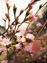 年末の贈り物に桜花束を啓翁桜5本の花束お祝い事の贈り物にお届け2019年12月24日より 奈良県吉野産啓翁桜の花束